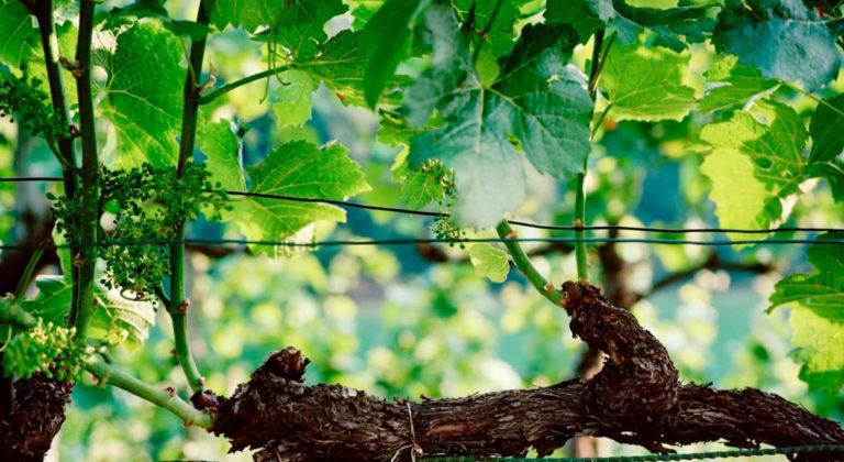Lausanne Great Wine Capital Region – a pioneering vineyard