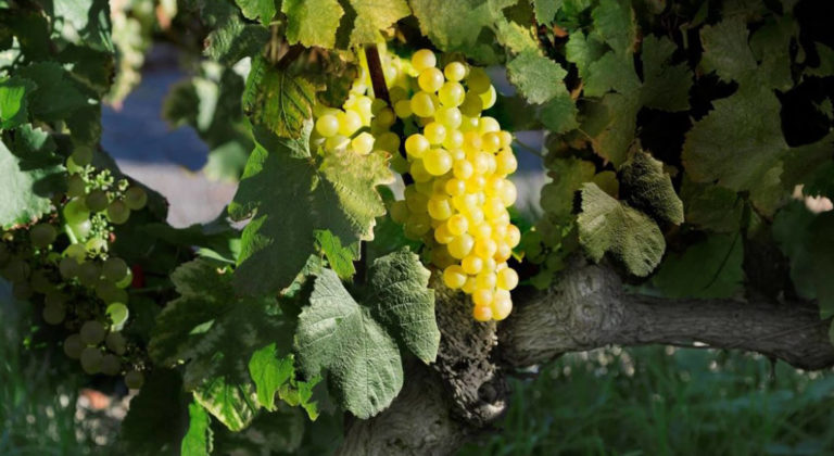 Chasselas : a grape variety with a Swiss Lemanic Arc identity