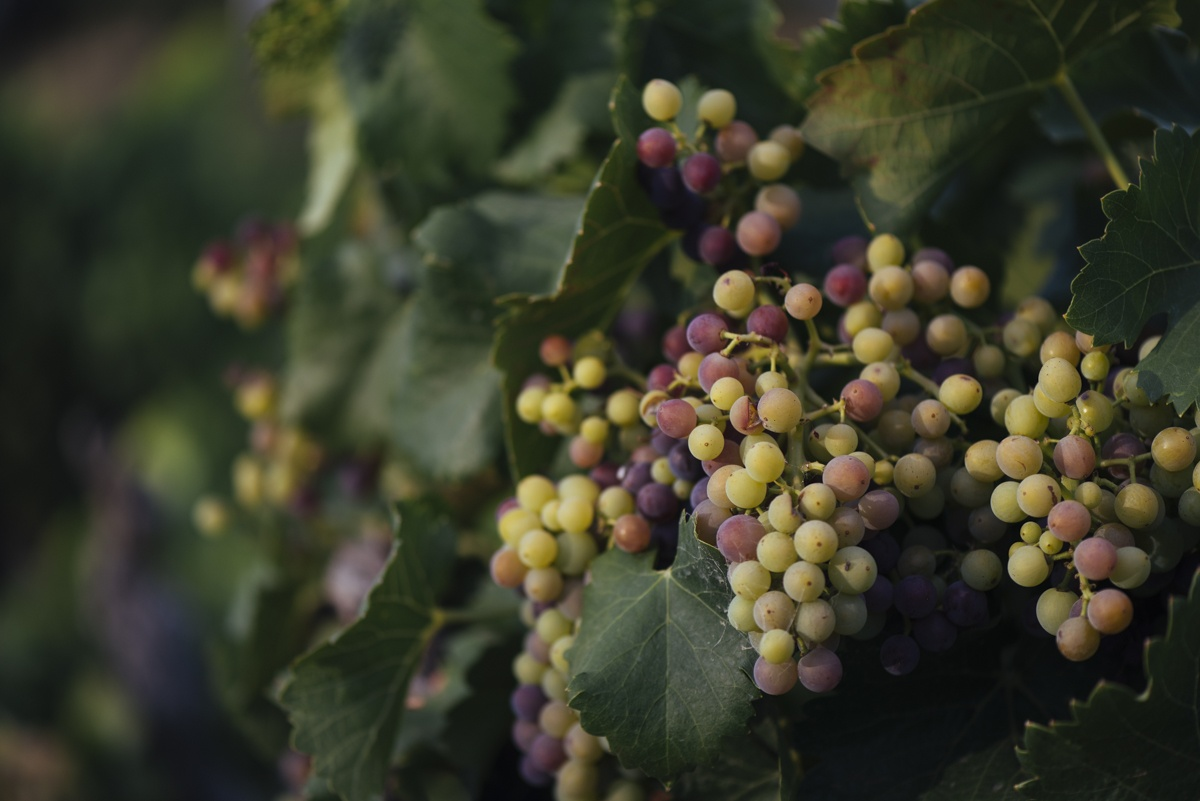 How Tempranillo Hybrids Can Mitigate the Effects of Climate Change